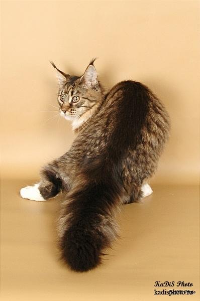 Фотосессия кошки породы мейн кун lioncoon