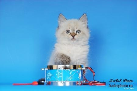Фотосессия невских маскарадных котят