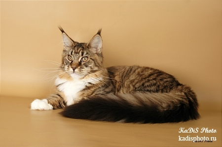 Фотосессия кошки породы Мейн-Кун