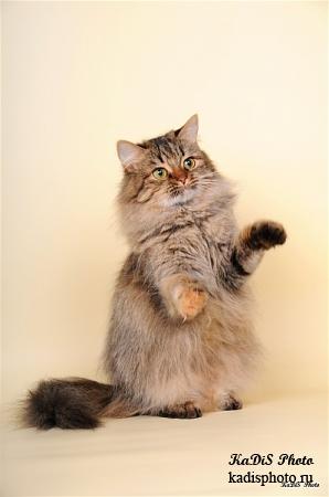 """Фотосессия питомника Сибирских кошек """"Тайшет"""""""