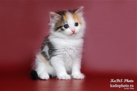 """Фотосессия котят в питомнике сибирских кошек """"Из Одиссеи"""""""