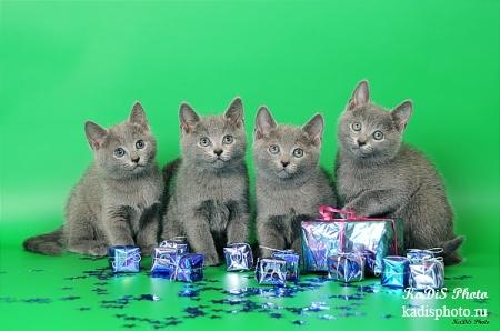 """Фотосессия питомника Русских голубых кошек """"Moon Light"""""""