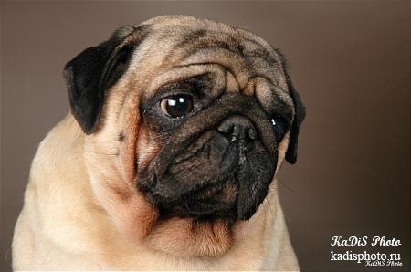 Фотосессия собак породы Мопс